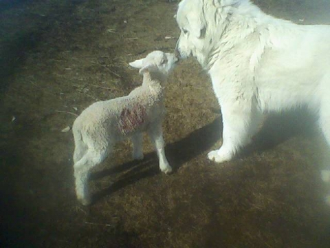 LOST: 9 year old Great pyrenees female