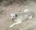 missing irish wolfhound