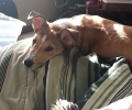 Lost Collie/Bulldog mix puppy