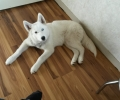 White husky lost