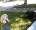 lost black lab mixed yellow medium dog