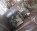 LOST MANX CAT TABBY MALE