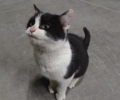LOST : Black and White Male Cat/Kittin
