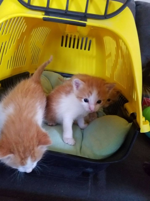 4 Orange & White Tabby Kittens