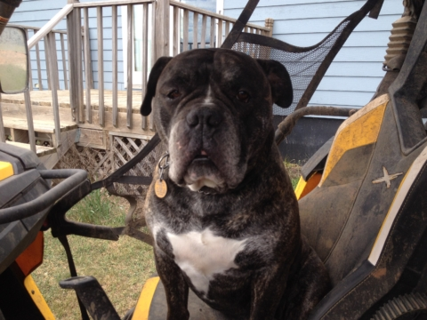 LOST!! Brindle Olde English Bulldog