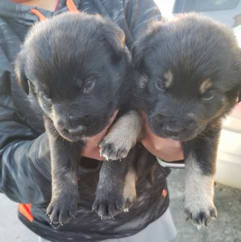 Border Collie Mix Puppies-NOT AVAILABLE