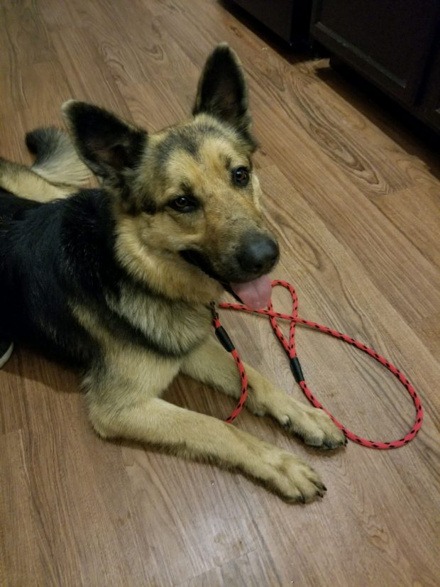 Found German Shepherd