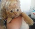 Orange tiger stripe kitten