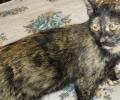 Female Tortoiseshell Cat
