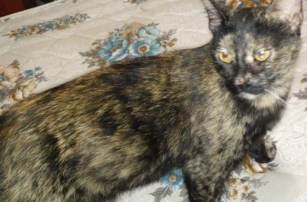 Female Tortoiseshell Cat