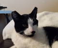 Found: Black and white male cat / neutered