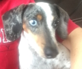 Lost Female Dachshund/Jack Russell Mix