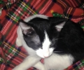 FOUND, Black & White Male Kitten