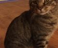 Found dark grey tiger kitty