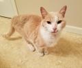Found Orange cat