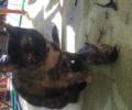 Lovie- lost cat