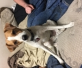 Lost jack russel