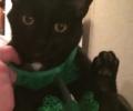 Lost black male cat