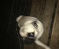 Found Pug