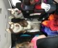 Two Huskies Lost