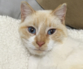found 1 yr old red point siamese male cat