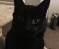 Lost black cat