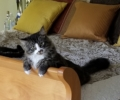 Lost: Bastian, male kitty 15 months old