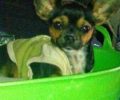 Stolen/lost chihuahua min oin mix