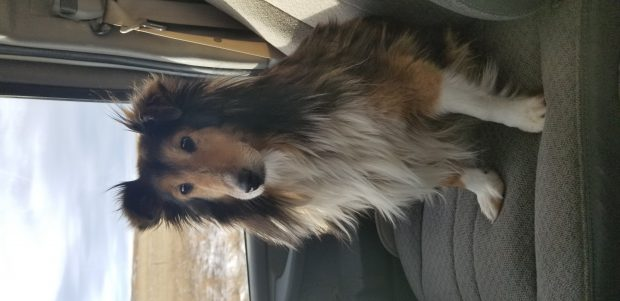 Female sheltie