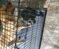 Found 2 labs 1 adult yellow, 1 black puppy